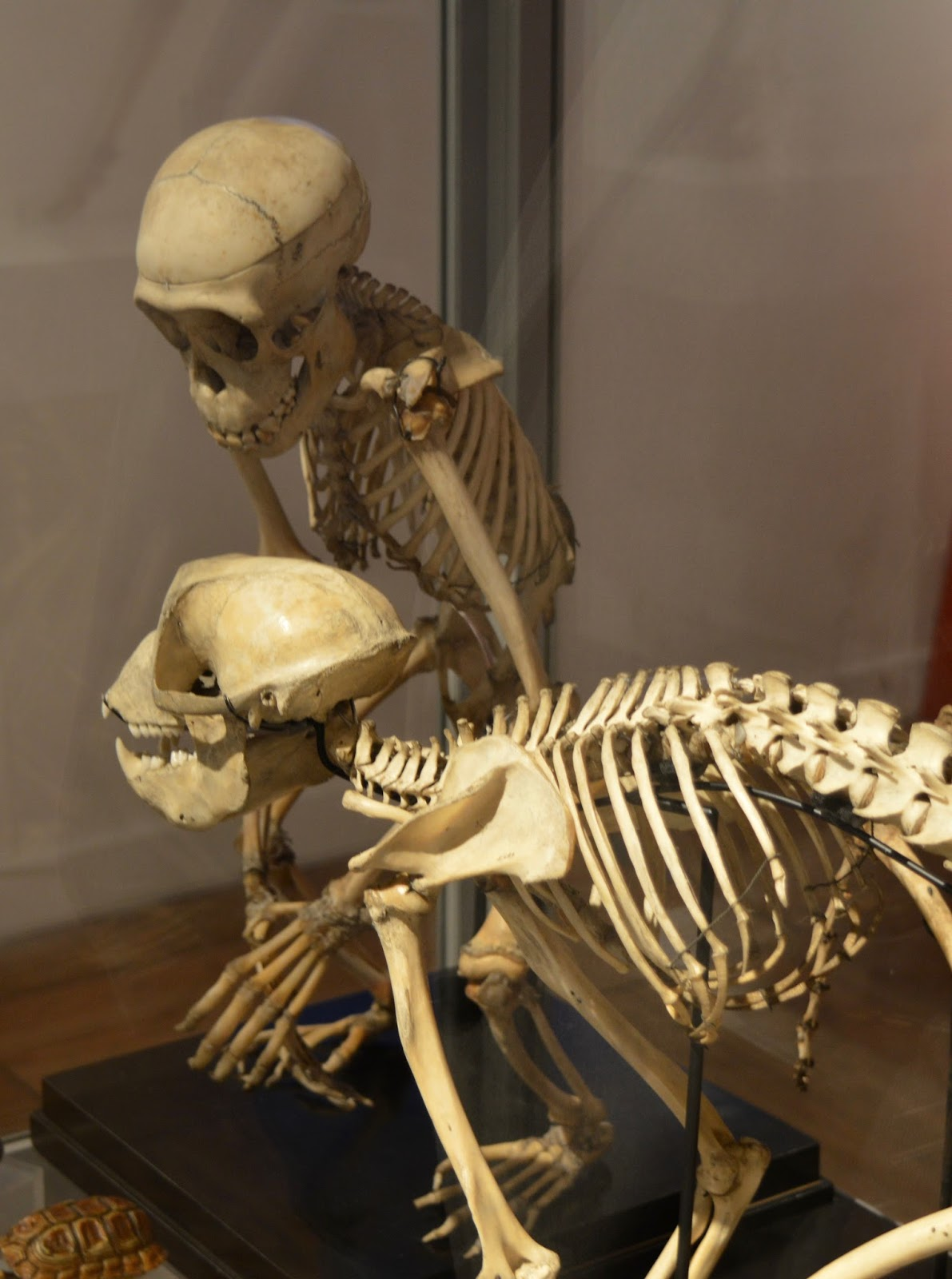 Bones Exhibition at Hancock Museum, Newcastle - monkey skeletons