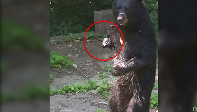 Injured wild bear without right paw walking