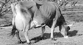 Vaca lechera flaca