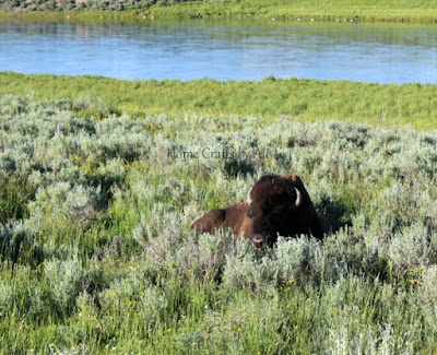 bison yellowstone river hayden valley