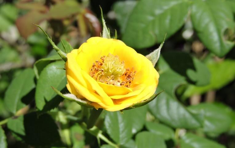 rosa de color amarillo flor