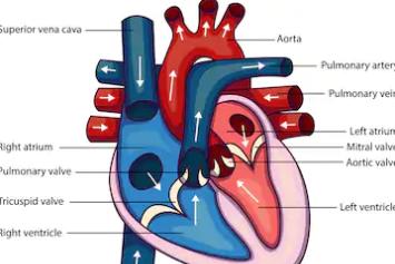 Bising jantung dan masalah katup jantung pada orang dewasa