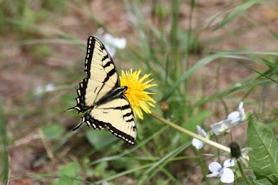 swallowtail butterfly on dandelion