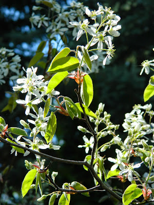 Amelanchier arborea Serviceberry flowers by garden muses-not another Toronto gardening blog