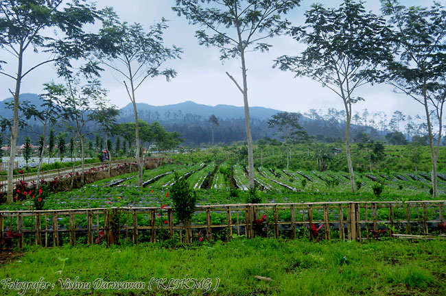 Kebun Stroberi || Fotografer : Vishnu Darmawan ( KLIKMG ) Fotografer Purwokerto