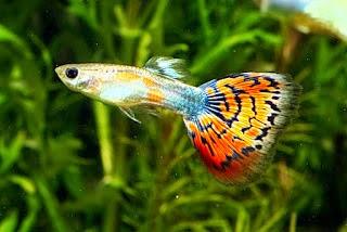 Tips dasar budidaya ikan guppy ~ Jual Ikan Hias Murah ...