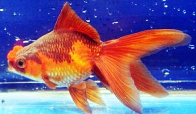Gambar Ikan Mas Koki Hanfusa