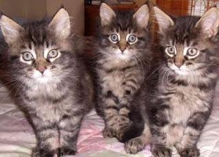 gato-maine-coon-caracteristicas-personalidad