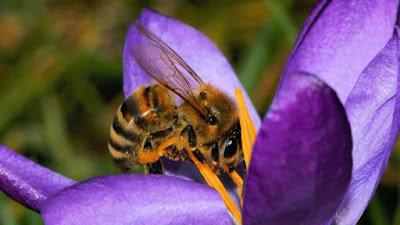 abeja flor EDIIMA20180228 0436 4 - Greenpeace urge a gobiernos de la Unión Europea a prohibir pesticidas dañinos para las abejas - El Apicultor Español: Actitud y Aptitud Apícola