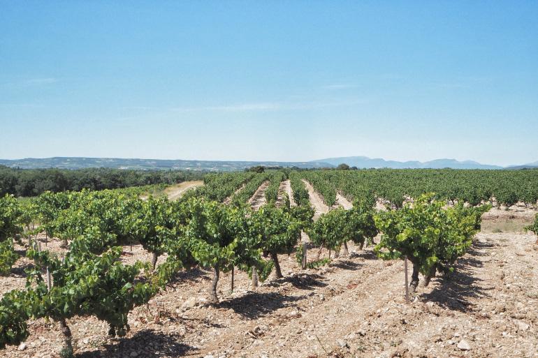 Vignes de Vacqueyras dans le Vaucluse