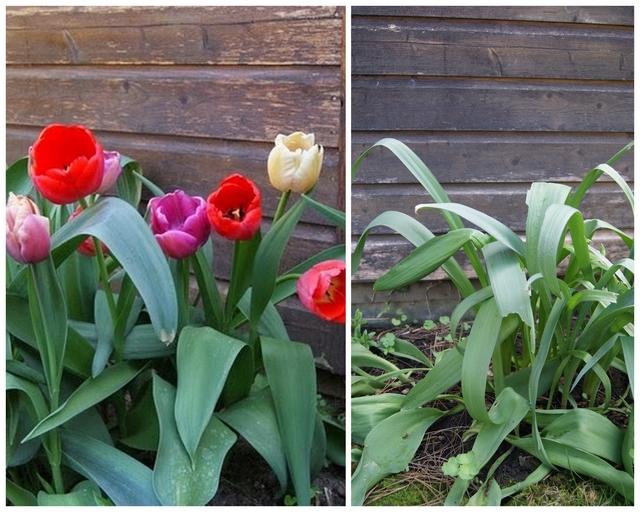 Tulipa Purpel Prince und Big Pride ein und drei Jahre nach Pflanzung