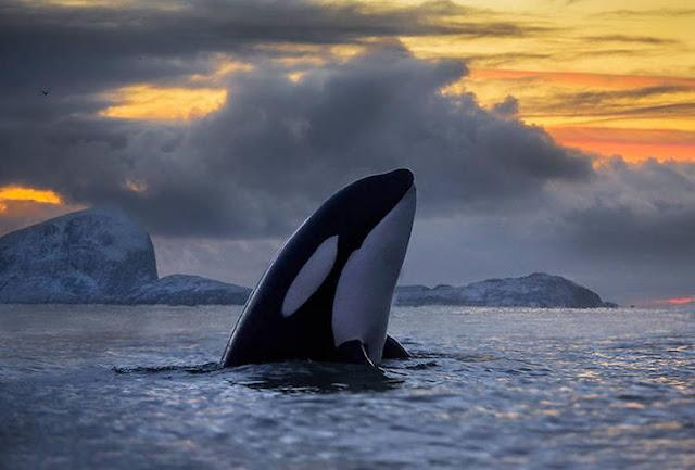 Fotógrafo captura belíssimas fotos de baleias no  Círculo Ártico