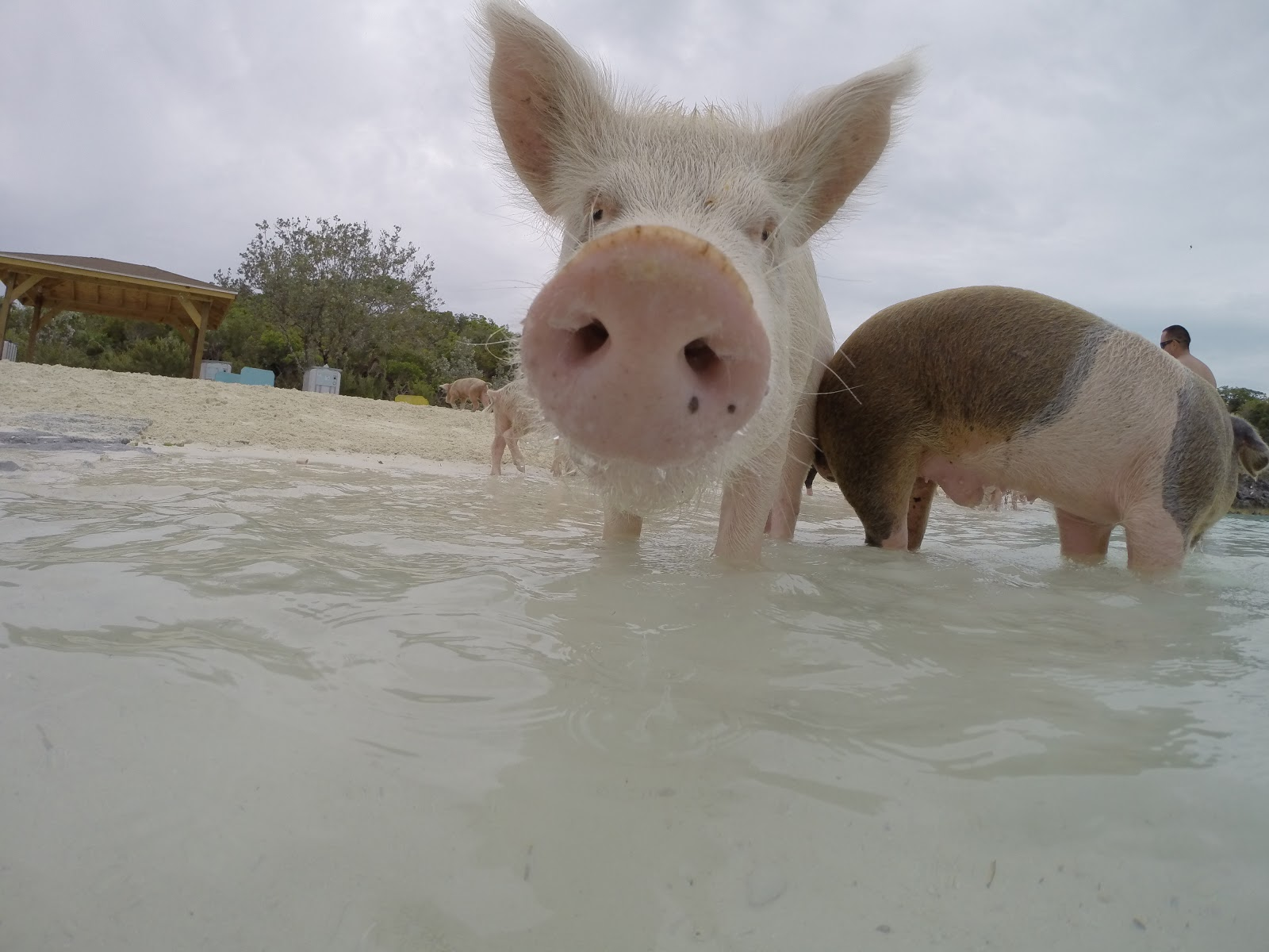 Big Major Cay, Pig Island [Exumas] | Farouche Fox