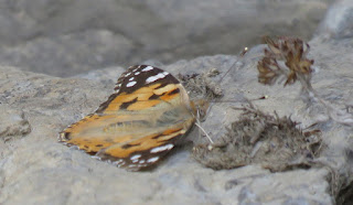 Vanessa cardui, Painted Lady