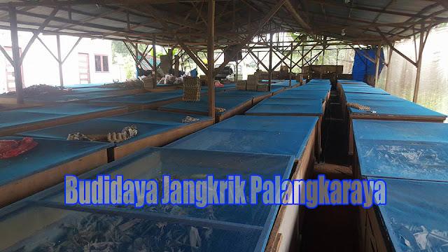 Peluang Bisnis Beternak Jangkrik di Palangkaraya Semakin Menguntungkan di 2017
