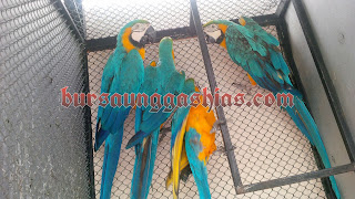 Jual burung macaw blue and gold