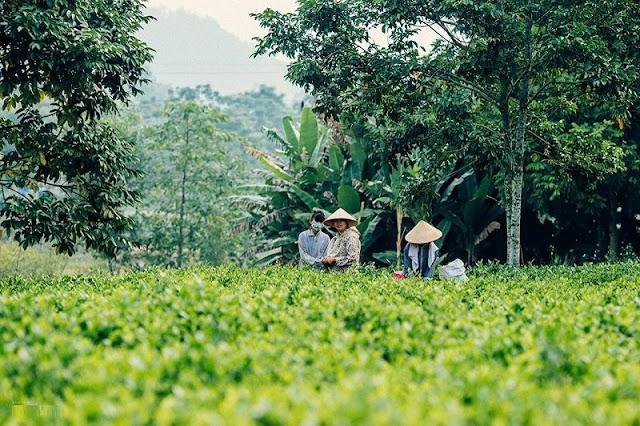 Tan Cuong tea hill at dawn 5