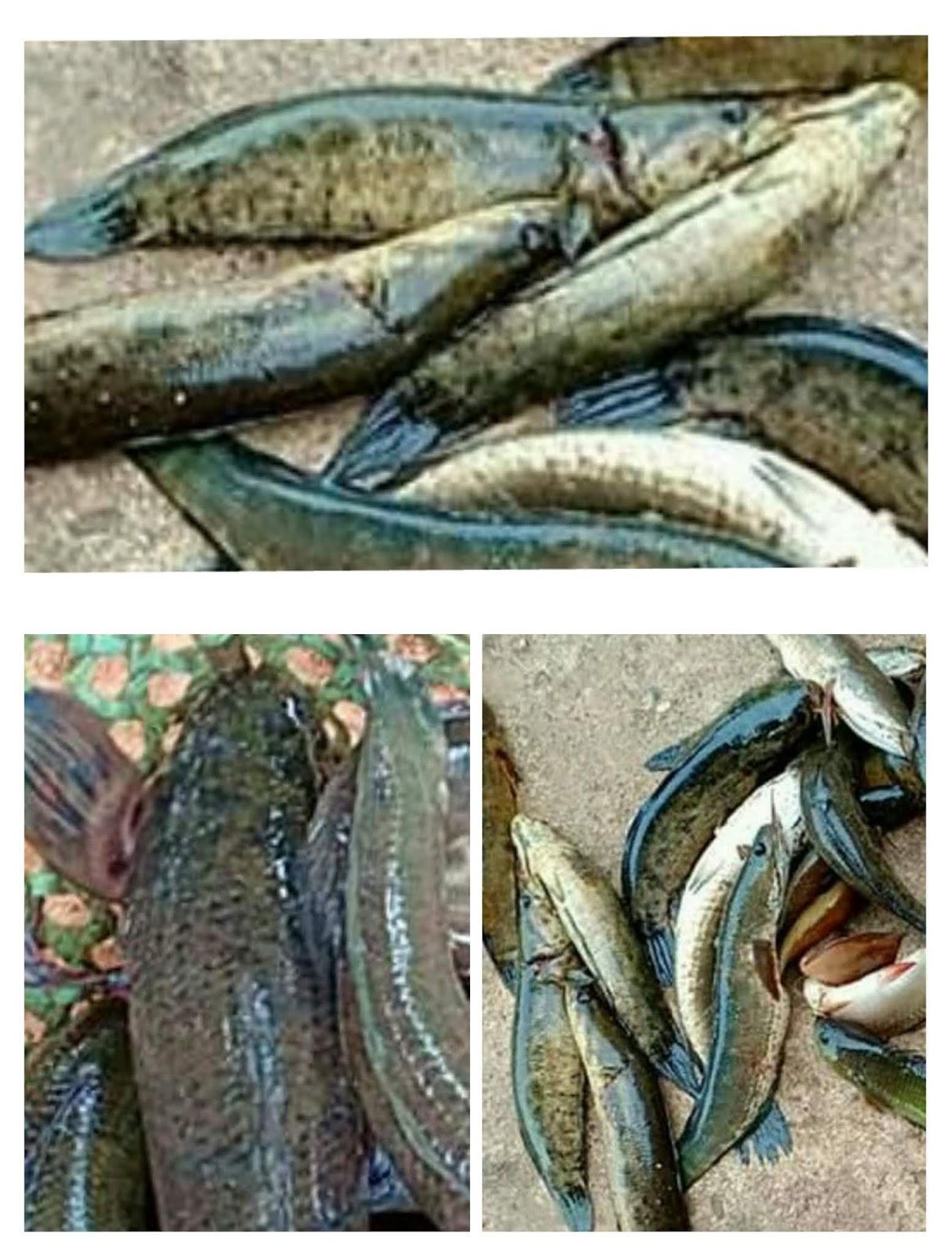 Muslim Homepage Ikan Bujuk Channa Lucius