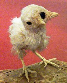 Image showing a chick with two beaks and three eyes