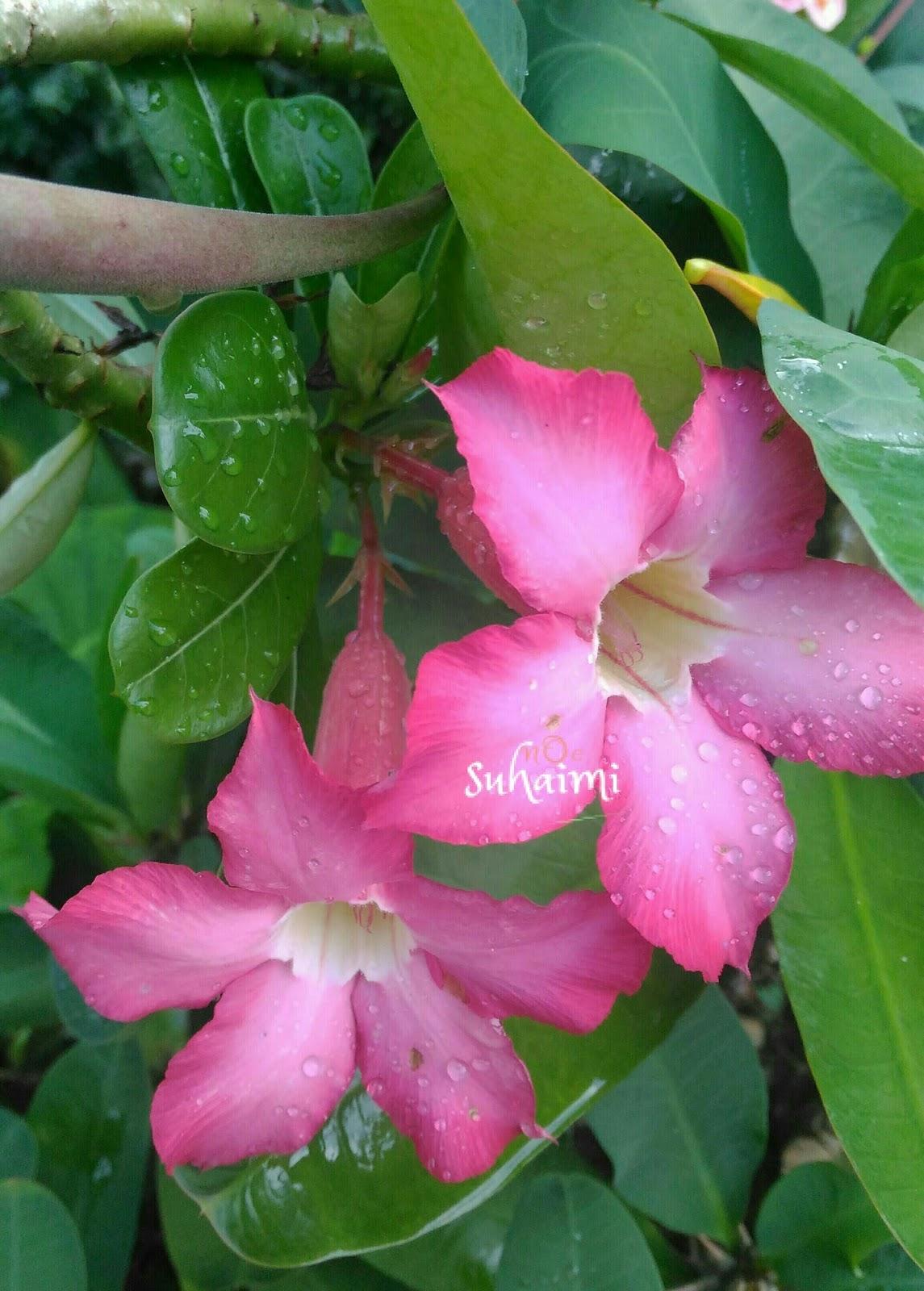 Bunga Cina