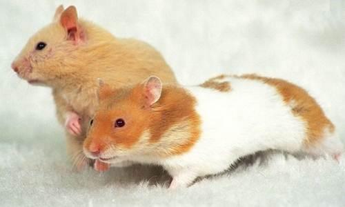 https://miefbird.blogspot.com/2018/03/daftar-harga-pasaran-hamster-terbaru.html
