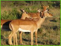 impala_Aepyceros melampus pictures