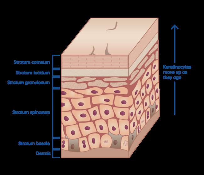 stratum-corneum