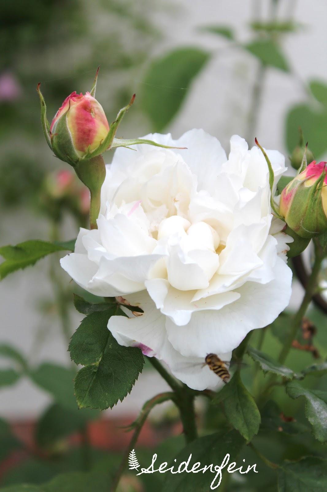 seidenfeins blog vom sch nen landleben garten rosen ein kleiner rundgang garden roses. Black Bedroom Furniture Sets. Home Design Ideas