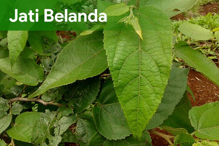 Daun Jati Belanda Herbal Kaya Manfaat