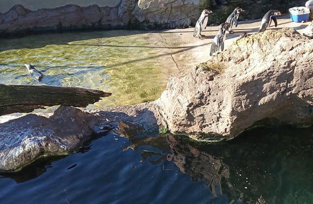 pinguini di humboldt nel parco marino di valencia
