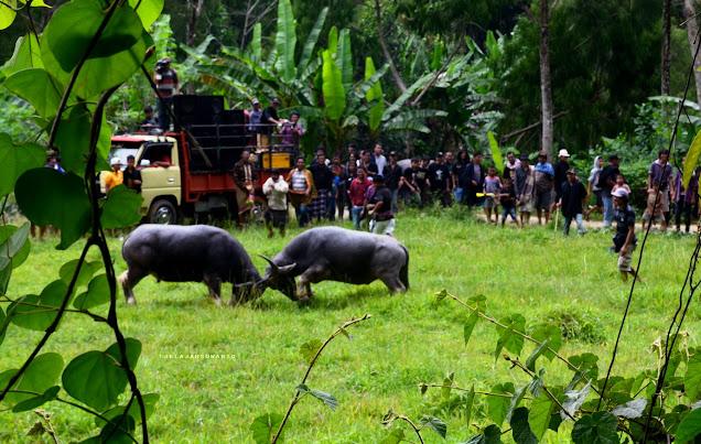 Ma'pasilaga Tedong sebagai hiburan untuk para tamu dalam rangkaian upacara adat Rambu Solok Tana Toraja || jelajahsuwanto