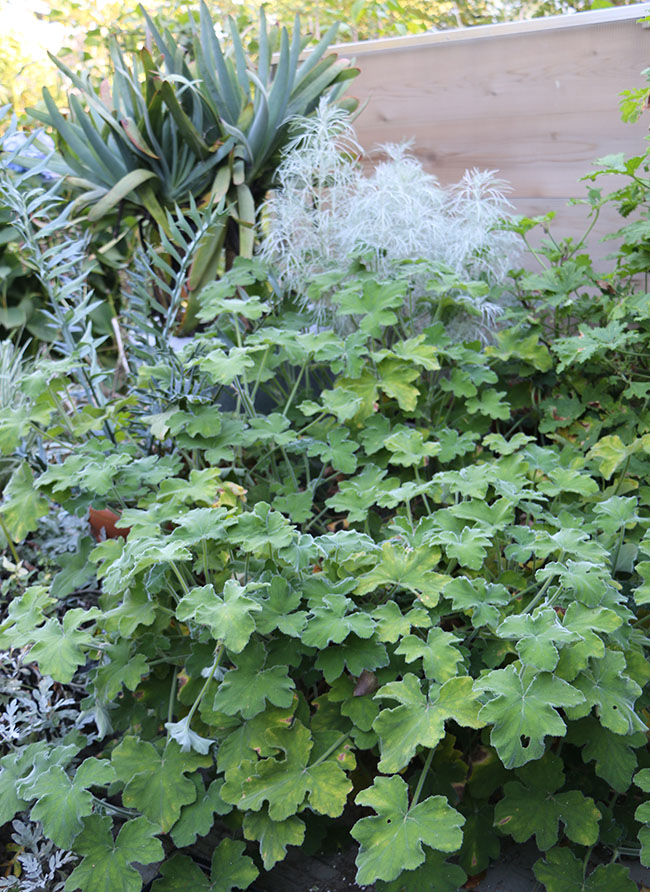 Growing With Plants The Art Of Over Wintering Plants Herbs