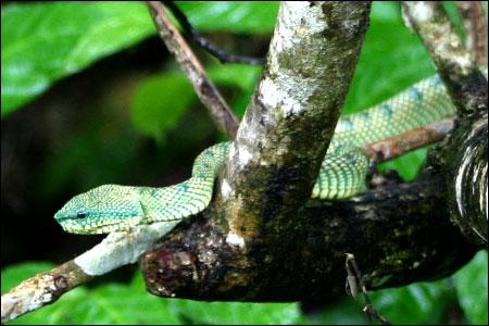 Bako National Park Snake