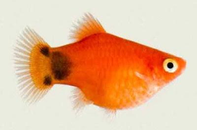 Ikan Hias Kecil - Ikan Platy