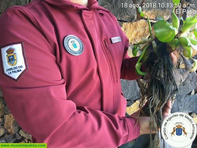 Agentes de Medio Ambiente de La Palma incautan más de ciento veinte ejemplares de la especie exótica invasora jacinto de agua