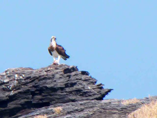 bird, osprey perched on an offshore rock