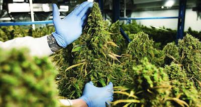 Les sociétés de cannabis
