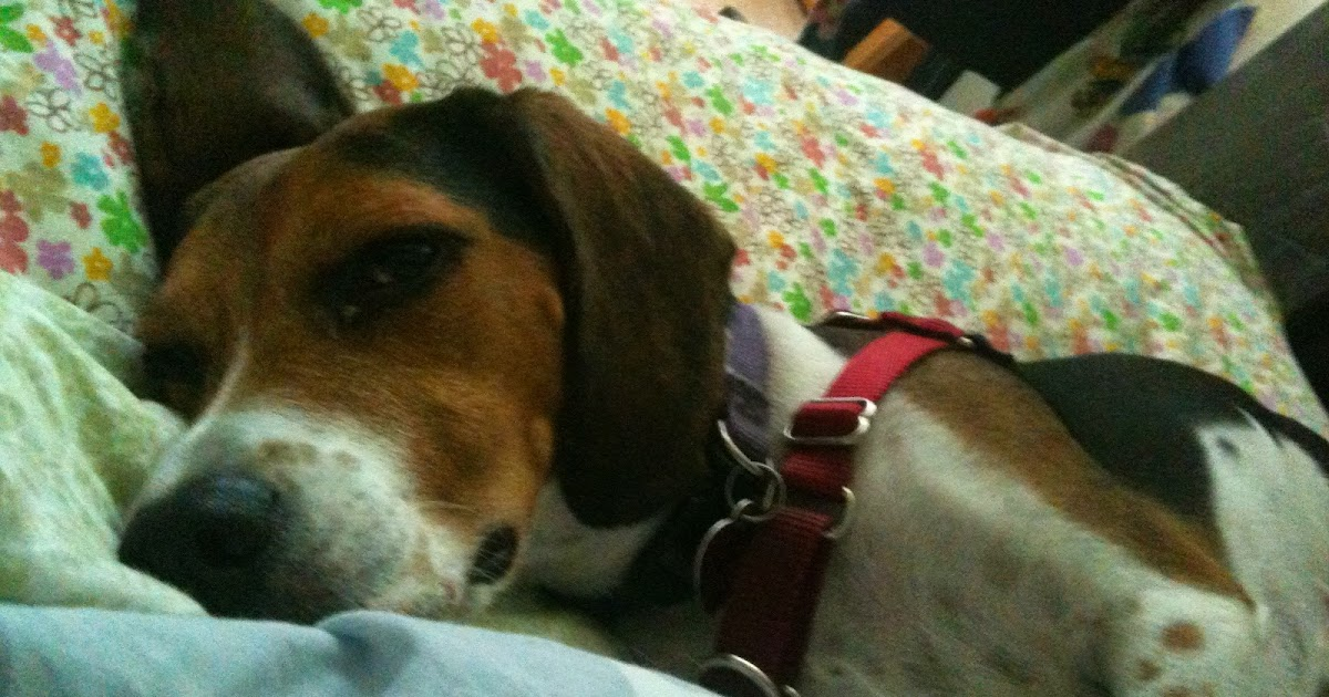 Life With Beagle How To Be A Dog Mom And A Single Working