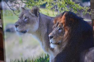 Safari Park Lion picture on canvas
