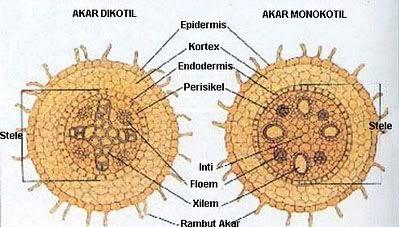 Hasil gambar untuk struktur bagian dalam akar