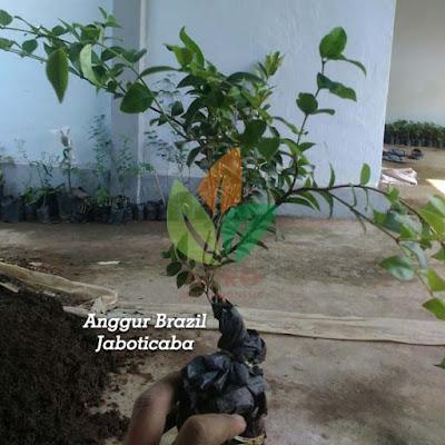 Bibit Anggur Brazil/Jaboticaba ke Kotawaringin Barat