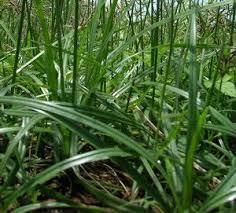 Inilah Manfaat Rumput Teki Bagi Kesehatan