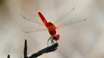 Wallpaper: Red Dragonfly
