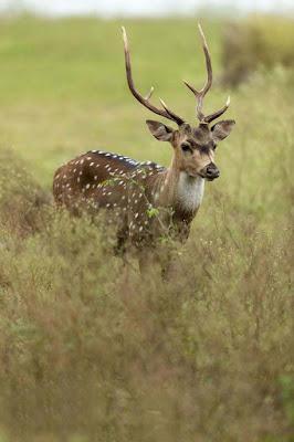 kadiar-dear-in-the-jungle-images