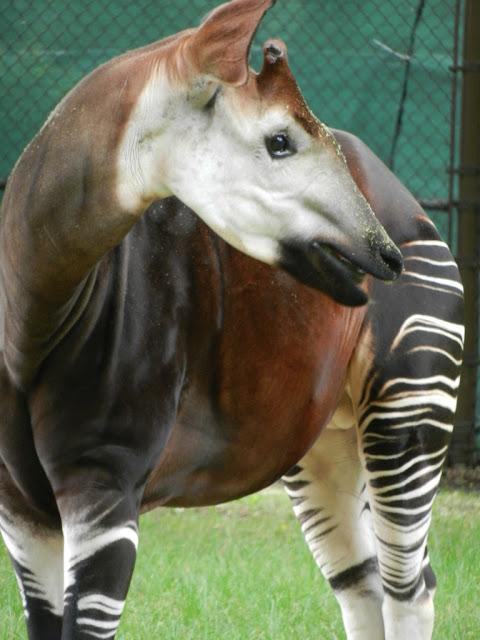 okaki at Brookfield Zoo
