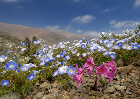 showier flowers in Atacama desert