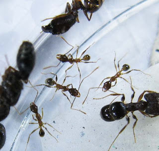 Minor workers of Pheidole sp