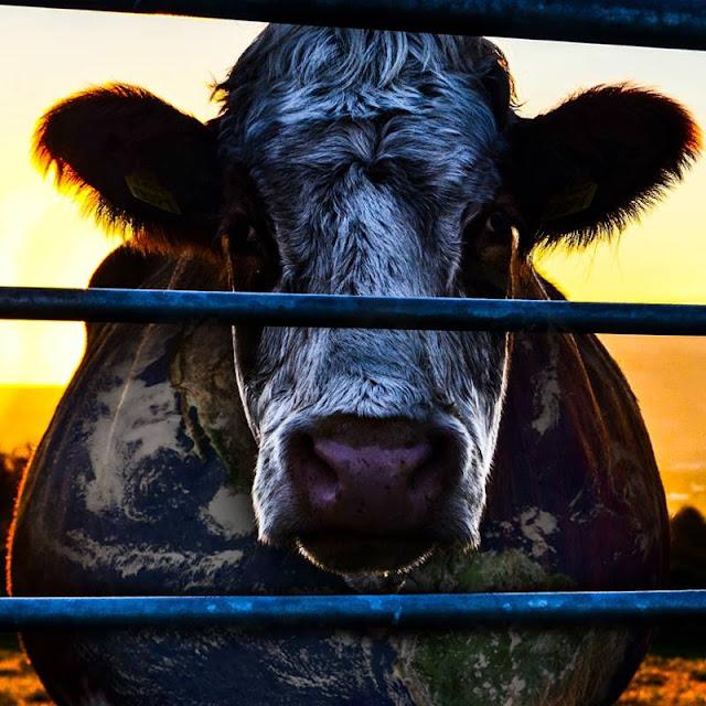 Dokumentar om verdens kjøttproduksjon og klimaavtrykk. Foto: Cowspiracy