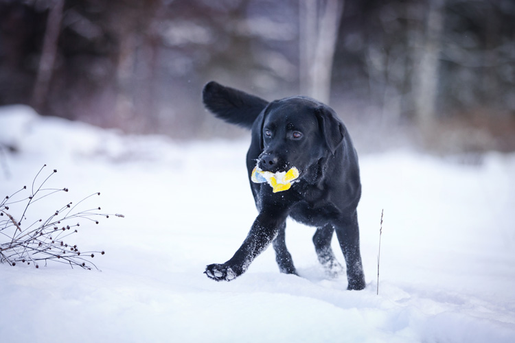 A Labrador Retriever playing fetch in the snow