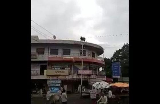 Sapi Nekat Bunuh Diri Loncat dari Atap Gedung Hebohkan Netizen